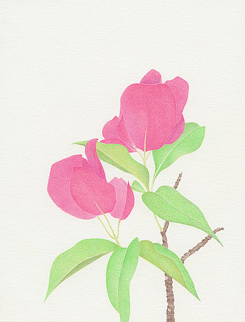 Thilo Westermann Bougainvillea Color pencil drawing New York